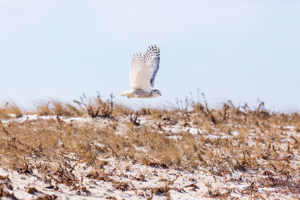 Snowy Owl, mid flight.