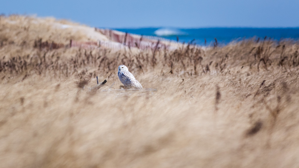 Snowy Owl perched up on snow fence in the dunes with a wave breaking in the background.