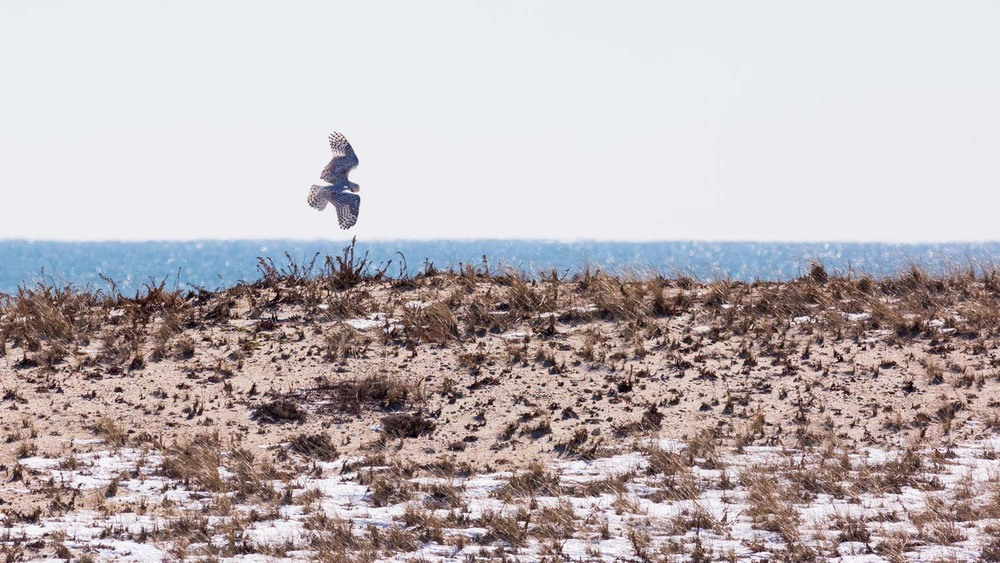 Snowy Owl wingspan.