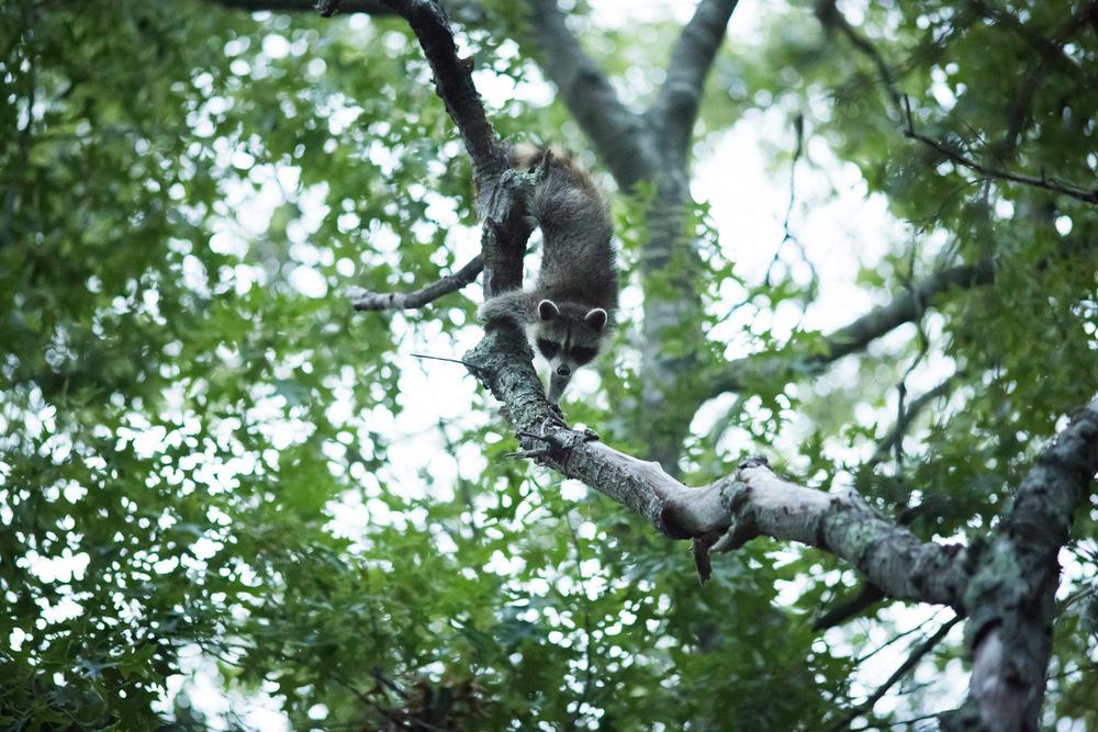 Raccoons3.jpg