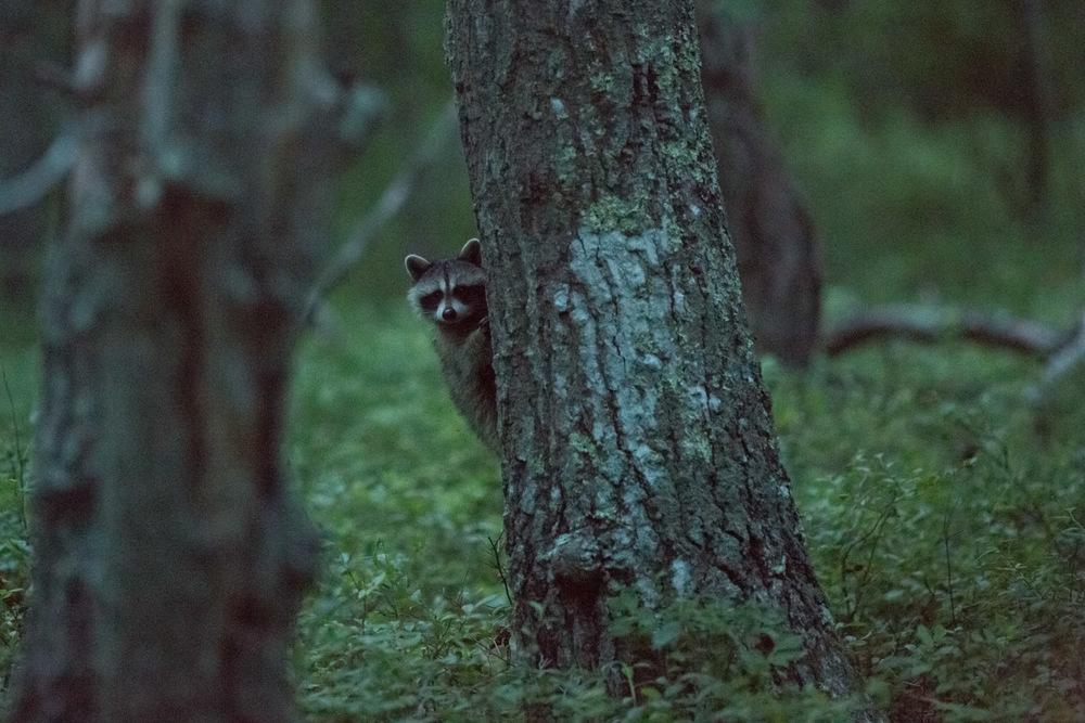 Raccoons4.jpg