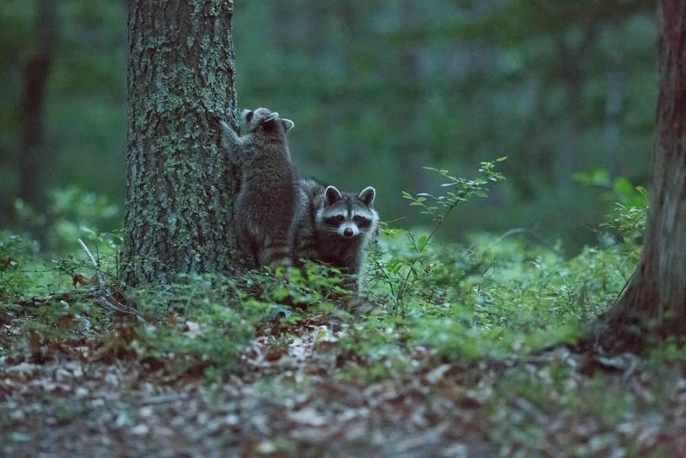Raccoons6.jpg