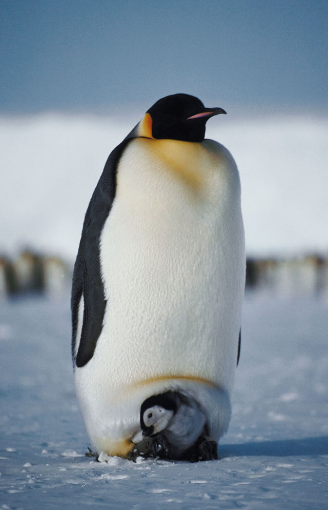emperor_penguin_male_baby.jpeg
