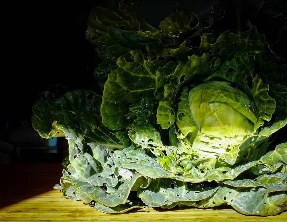 This is a sugar loaf cabbage - what a beauty!