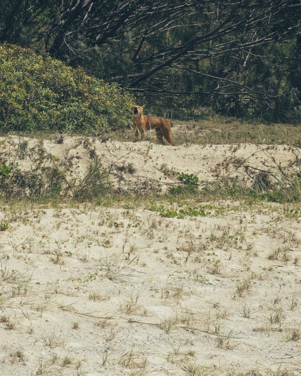 Dingo Sighting on Fraser Island