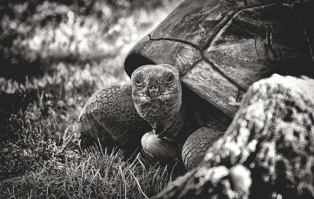giant-tortoise-3782239_1920.jpg