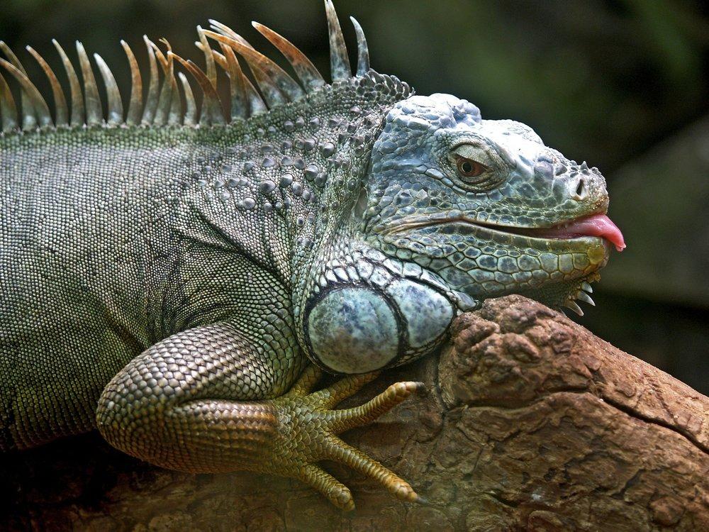 iguana-50198_1920.jpg