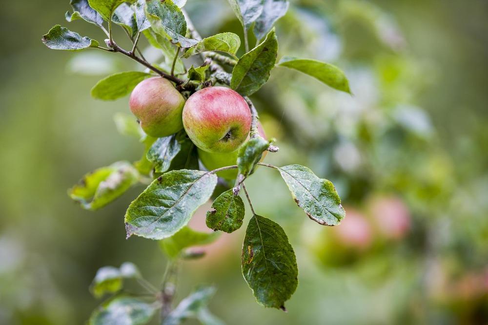 Pommes du terroir normand Domaine d'Ablon Normandie