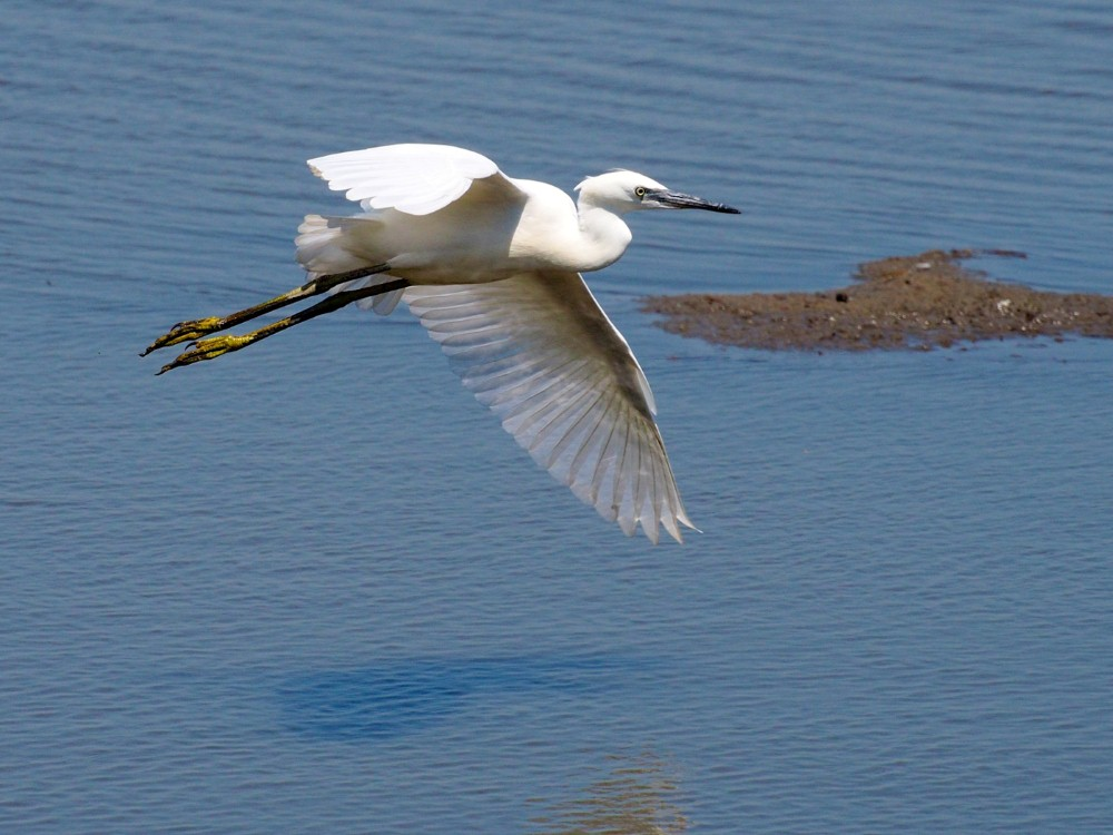 LITTLE EGRET by Don Clarke.jpg