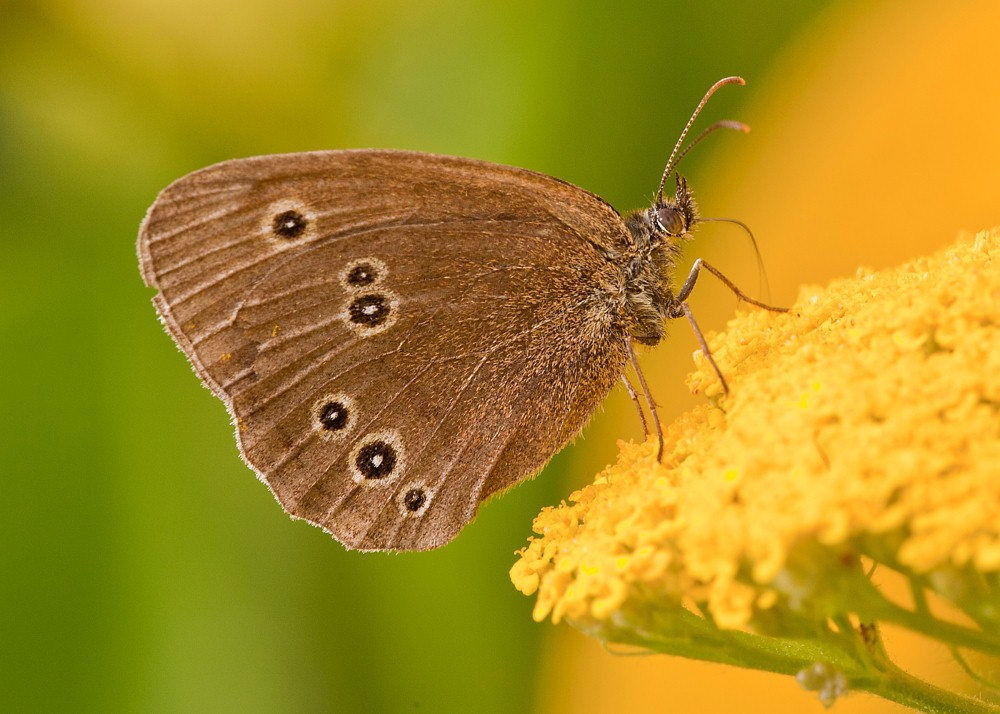 RINGLET by Terry George.jpg