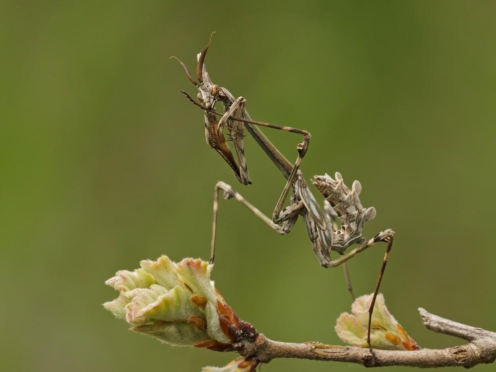 Empusa Mantis Preening by John Bogle.jpg