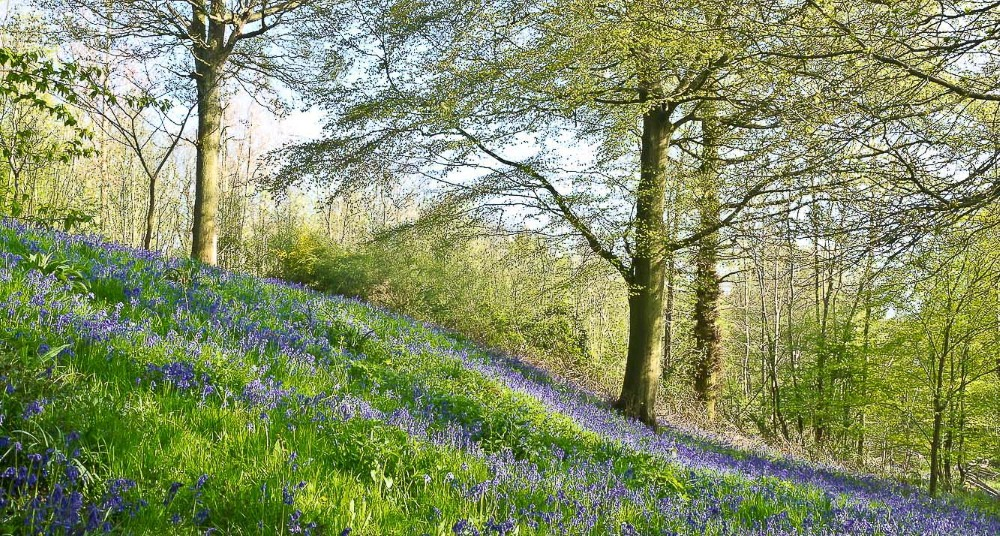 BLUEBELL WOOD by Phil Willcocks.jpg