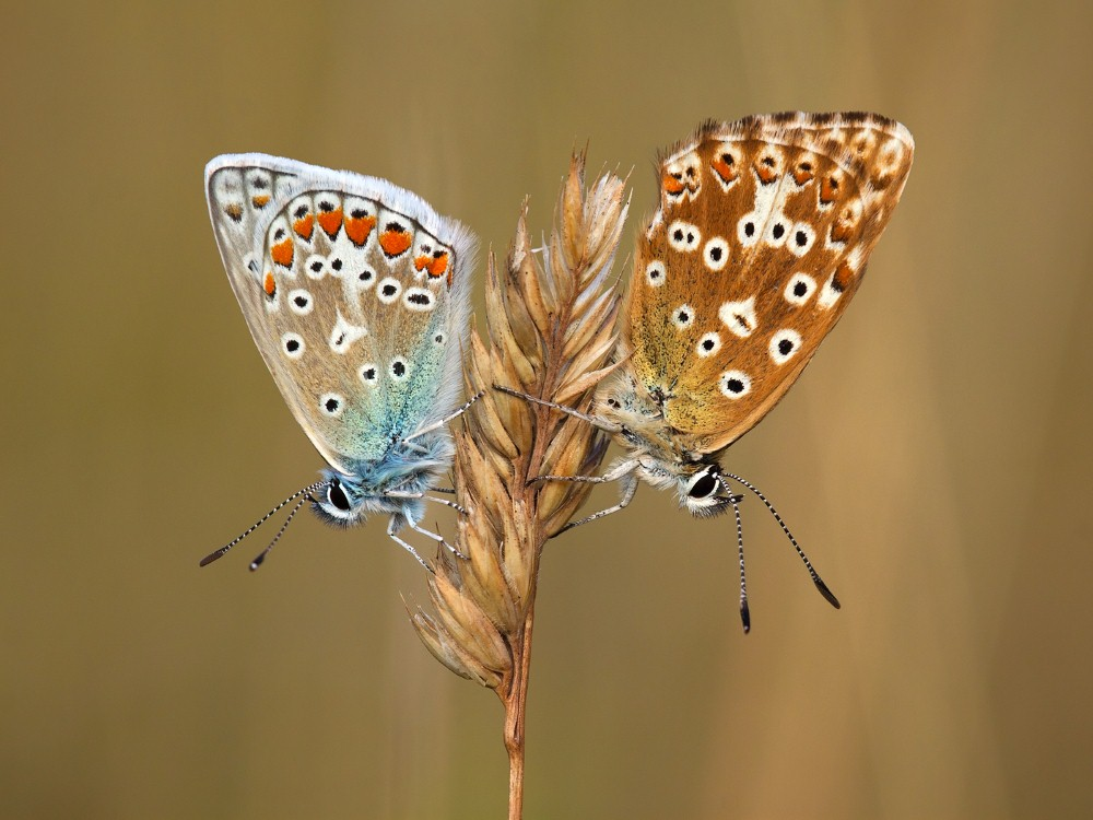Male Common Blue & Female Chalkhill Blue by John Bogle.jpg