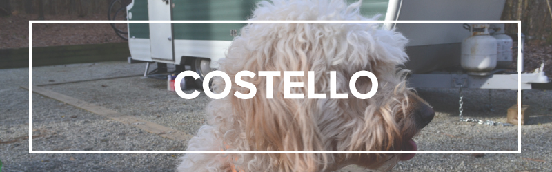 Costello, the goldendoodle | Local Color XC