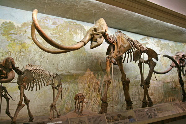 Nebraska's state fossil: the mammoth. View it at our wedding reception.