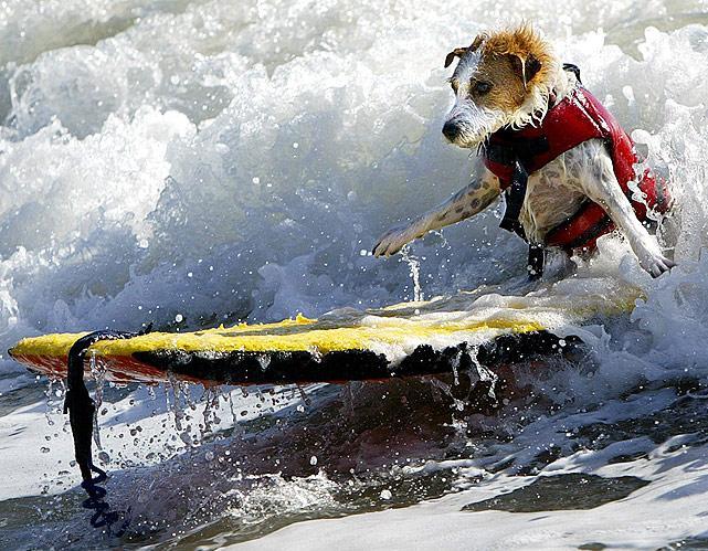 jack-russell-terrier-surfing.jpg