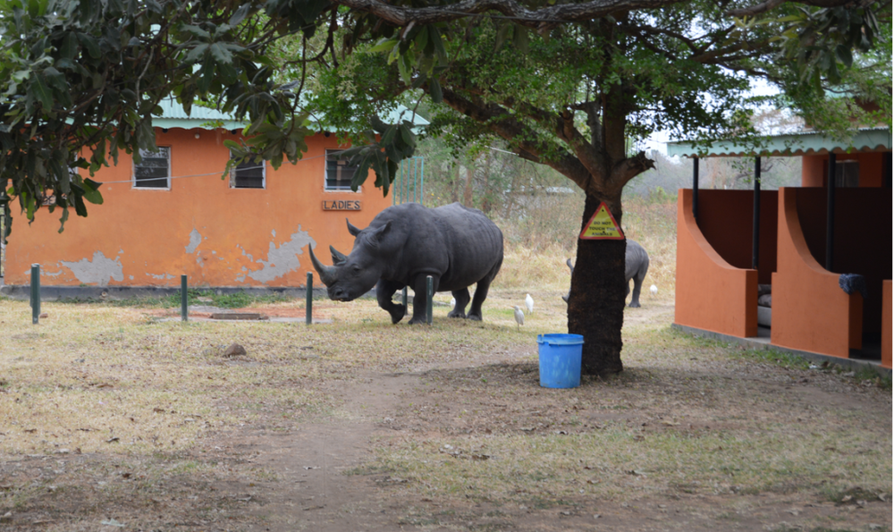 Rhinos just outside the ladies dorm, don't go outside without scouting for Nkulas first!