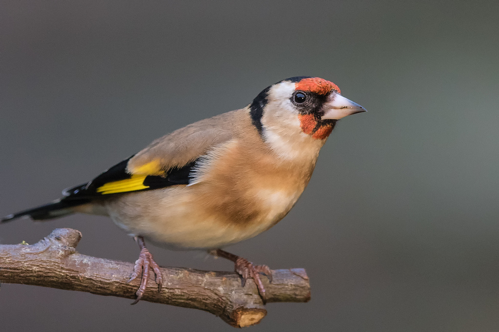 Goldfinch - taken in my garden.