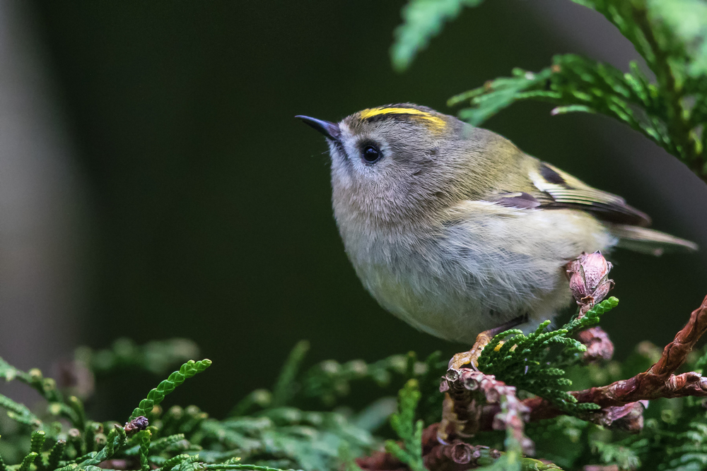 Goldcrest at Corsham Park