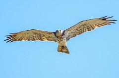 Short-toes Snake Eagle