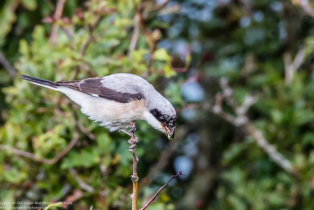 Lesser Grey Shrike after a successful hunt...