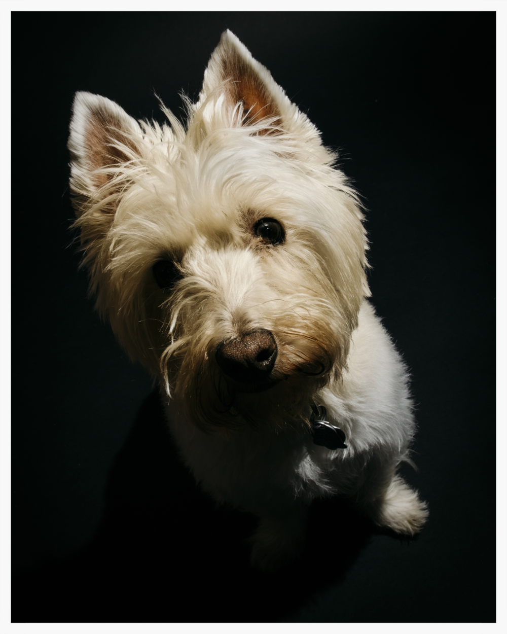 Kevin the Westie was such a pleasure to shoot!