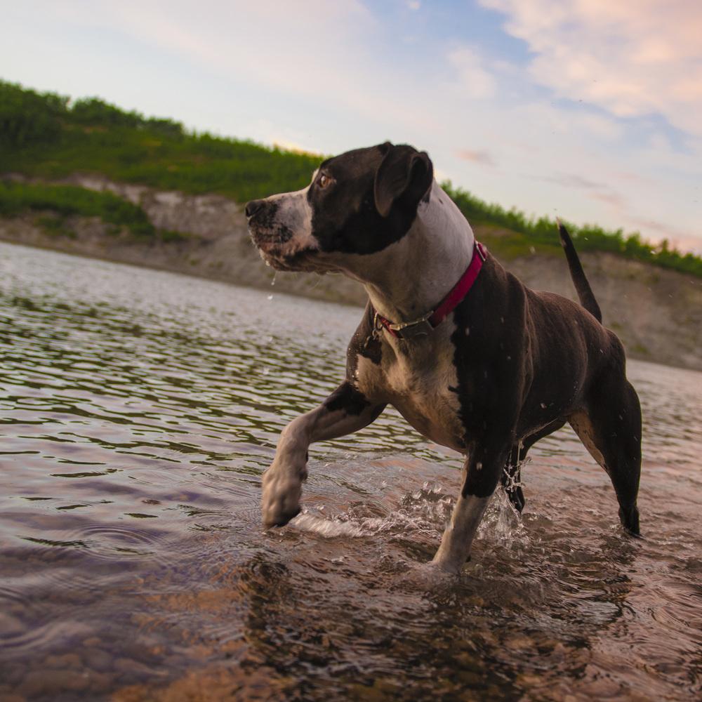 Pitbull in the North Saskatchewan River at dusk