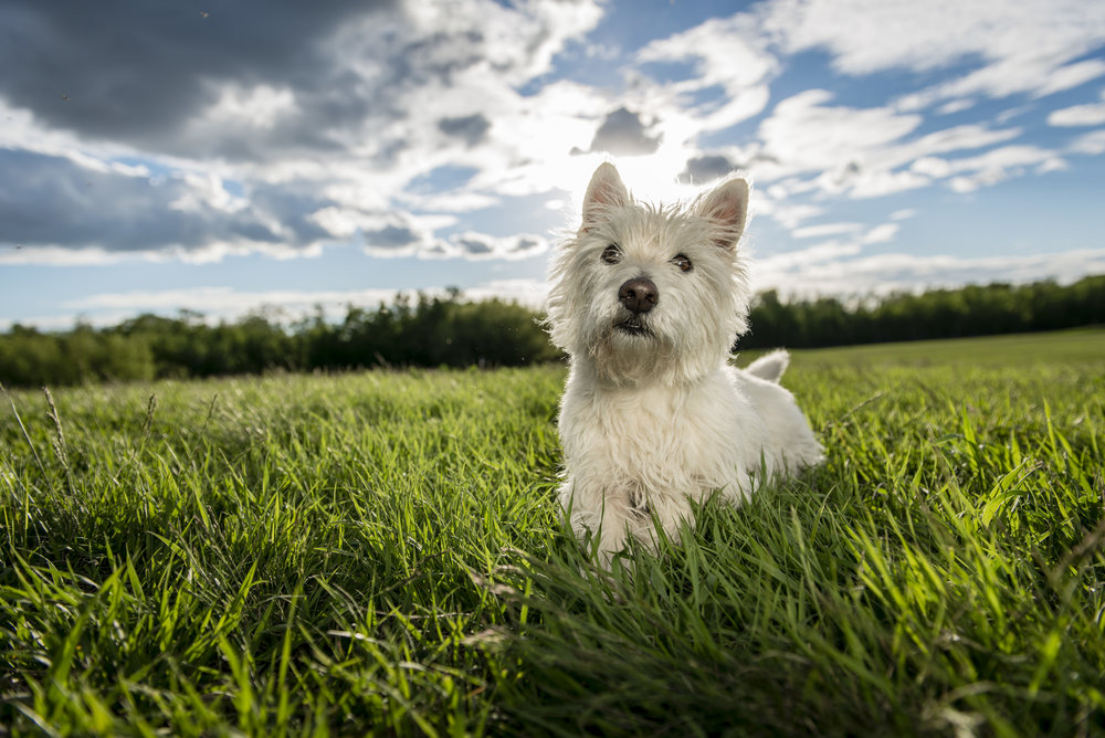 Edmonton Westie photo in Sherwood Park at Deer Mound off leash park