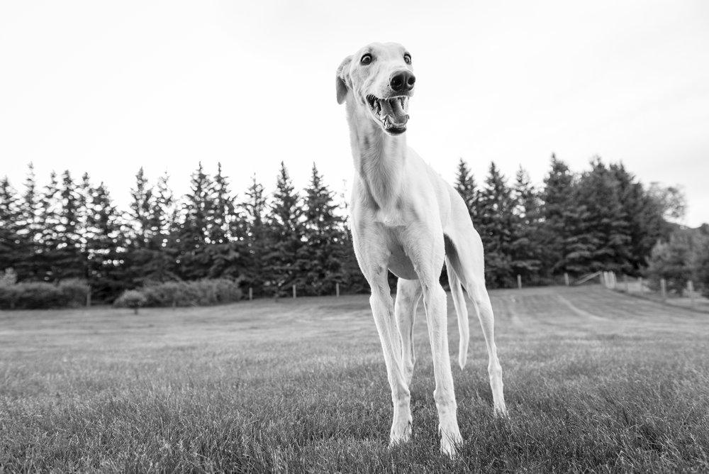 Greyhound in Edmonton in a field shot in Sturgeon County