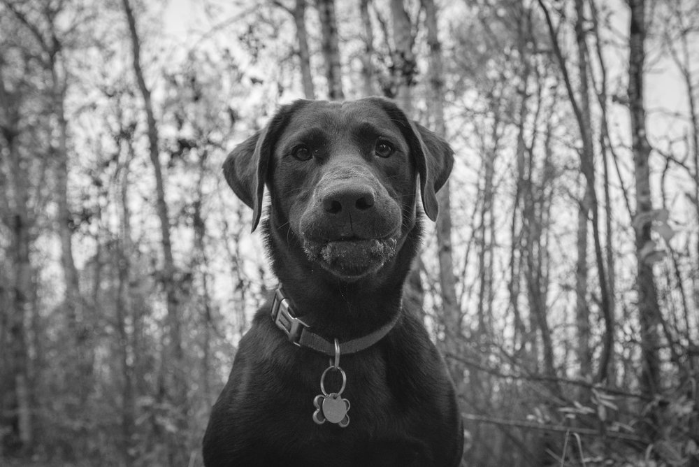 Tyrion the Chocolate Lab