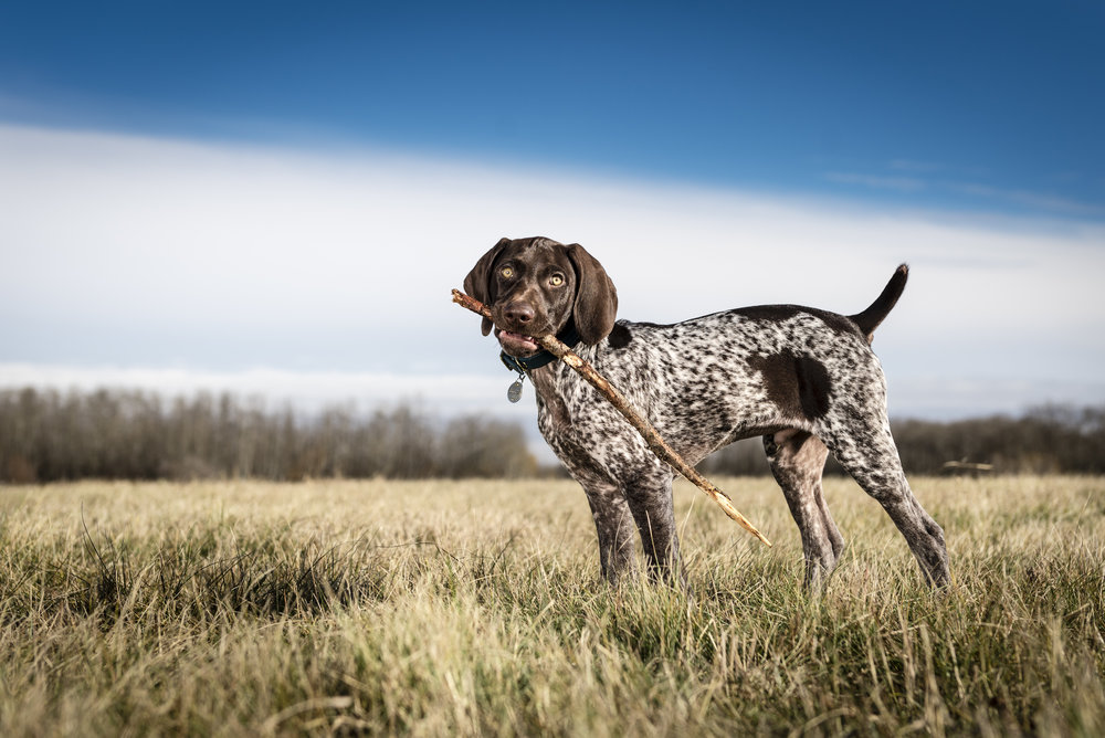 Fritz the German Short-haired Pointer