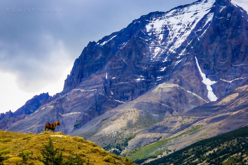 Patagonian wild horse