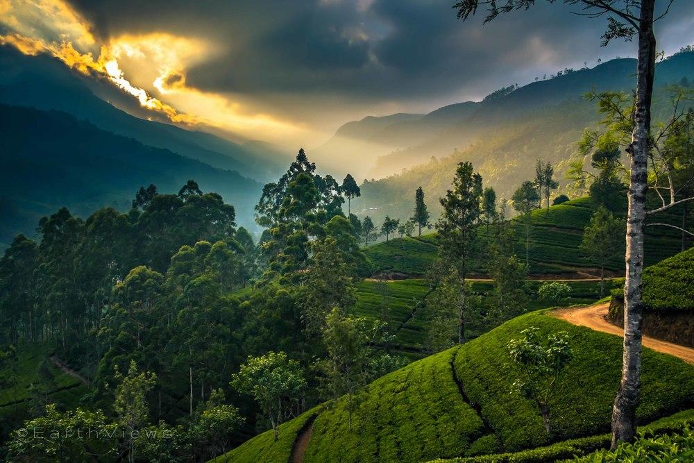 Golden teahills