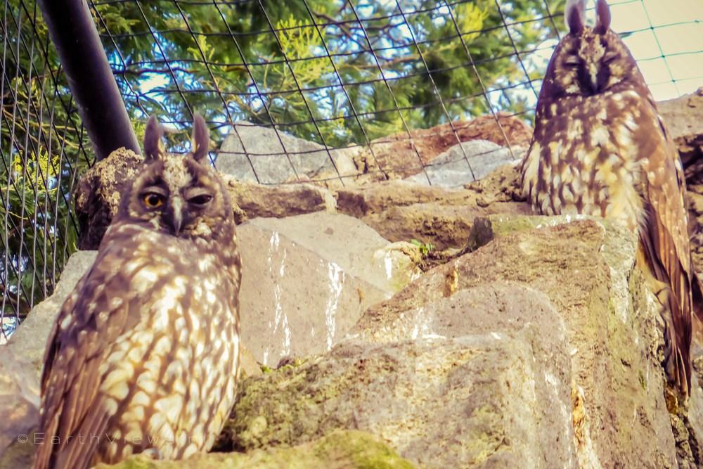 Stygian Owls.