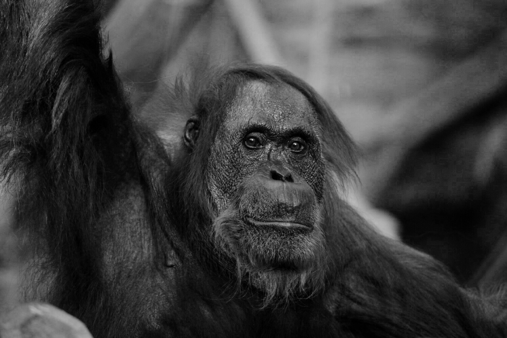 A long focal length helps blur the background behind this majestic Orangutan.