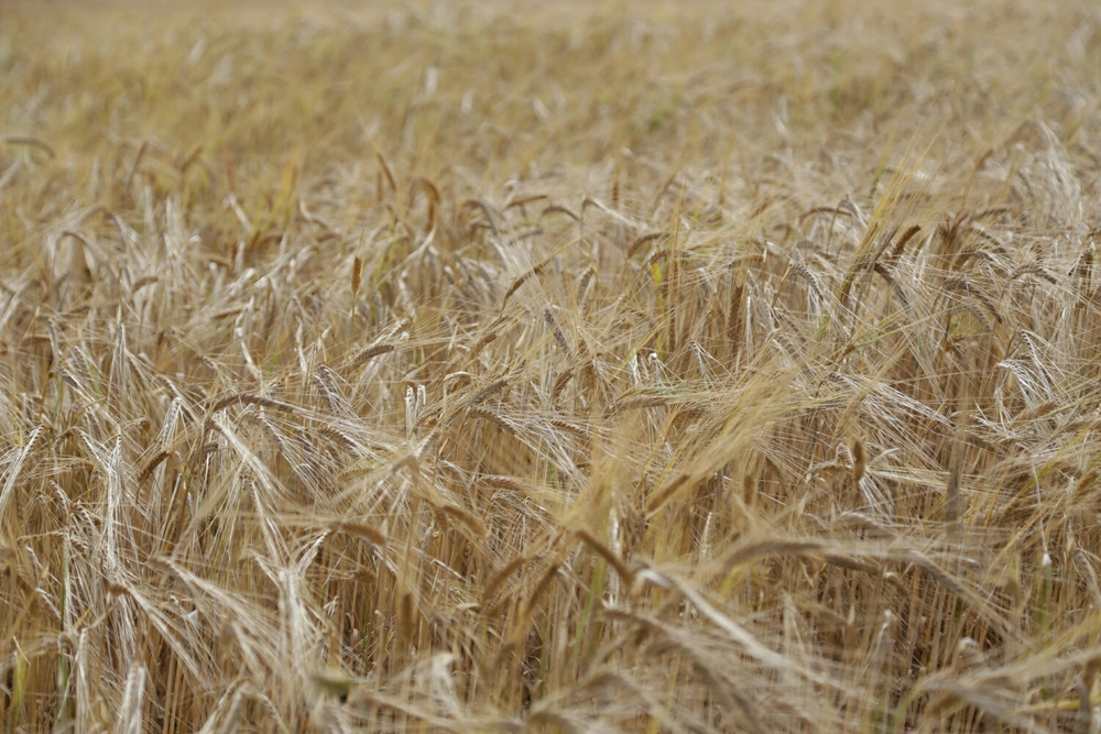 fields of gold (Canon 6D)