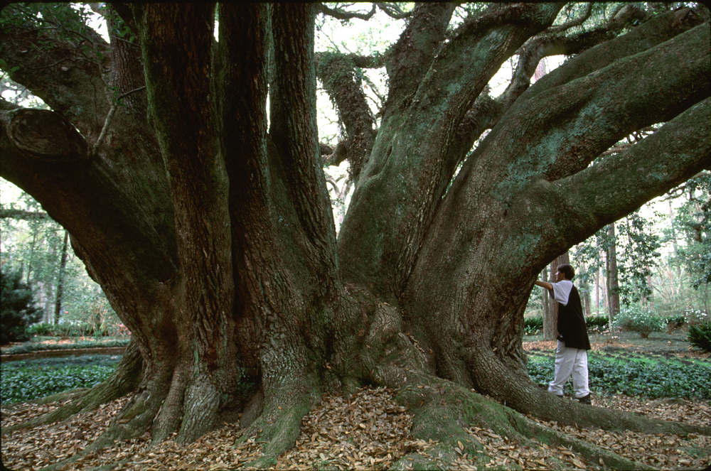live oak.trunk james flat.jpg
