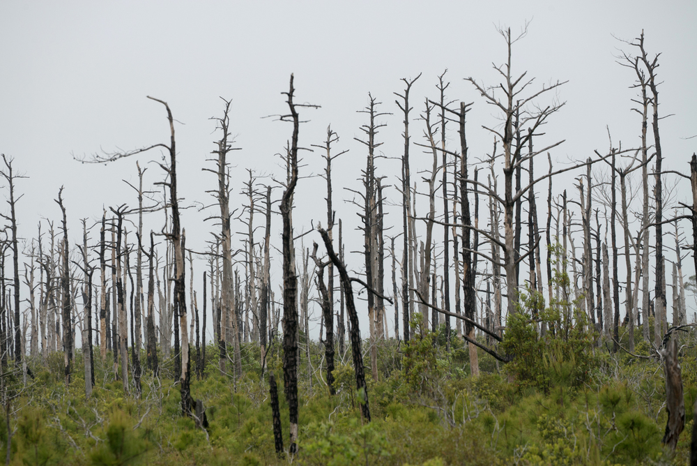 Map: 1.  A dead forest in Alligator River NWR resulting from salt water intrusion.