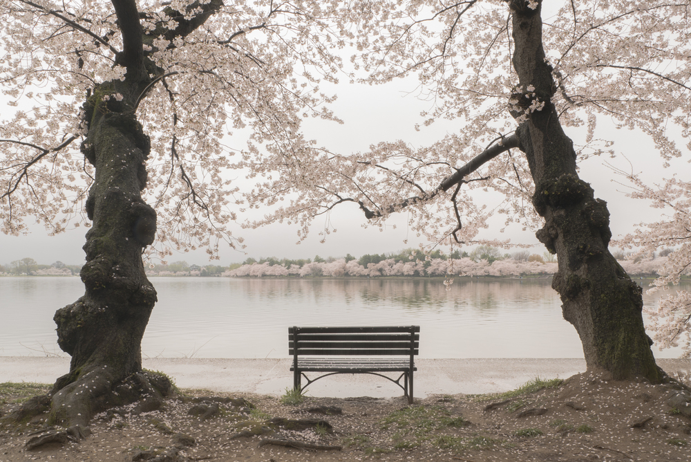 Cherry trees line the Tidal Basin in Washington, DC, which already overflows its banks several times a year.