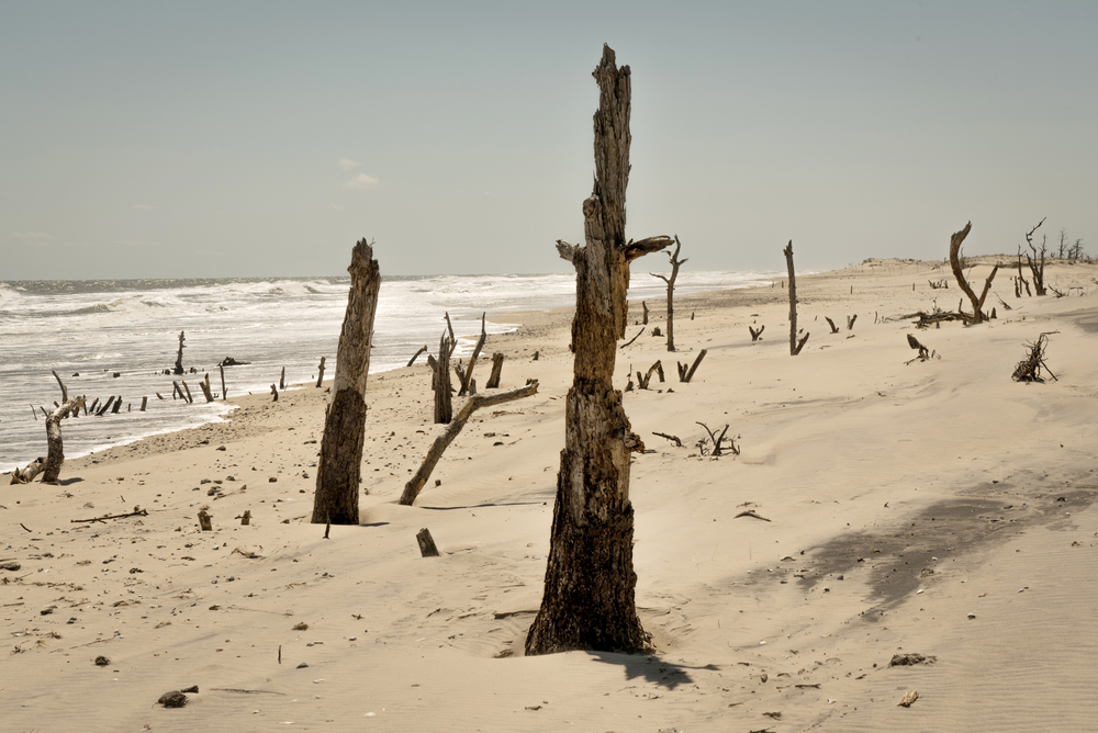 A beach has moved away from a former inland forest on Assateague Island, Virginia, near Chincoteague.