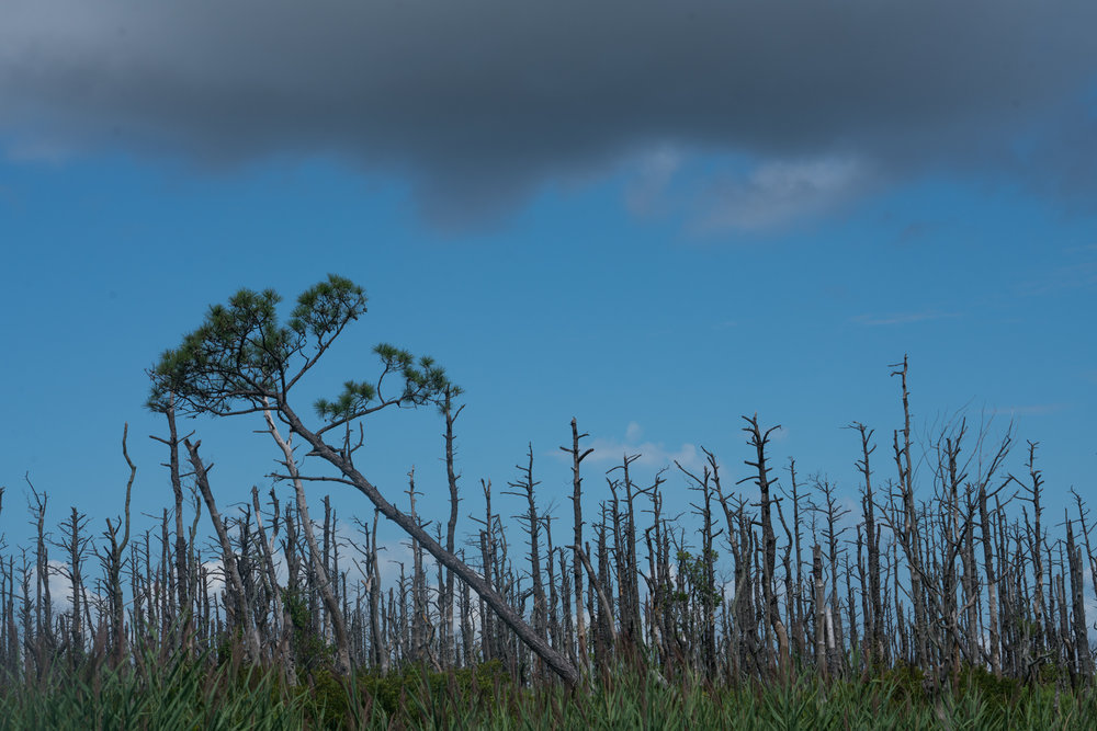 One of the many ghost forests on the Inner Banks of North Carolina. The low-lying area is cut with ditches meant to drain the land, but tides—slightly higher every year—bring salt water inundation of the trees.  Photograph by Bill Marr