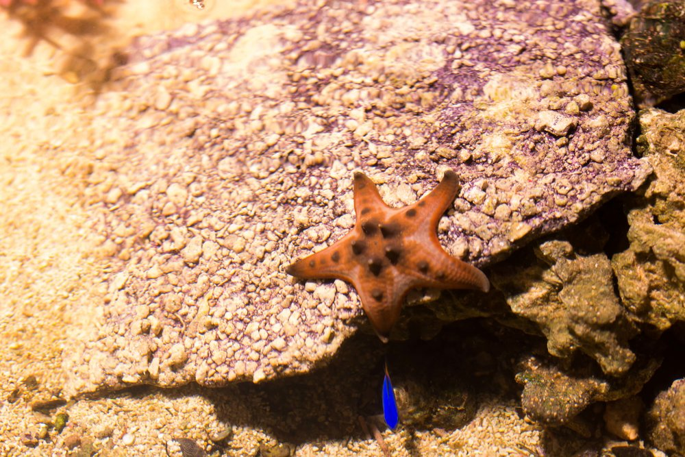 This is what was inside the touch pool! Among other really cool touchable critters, this starfish won my heart. I also love the little blue fishy photobomber.
