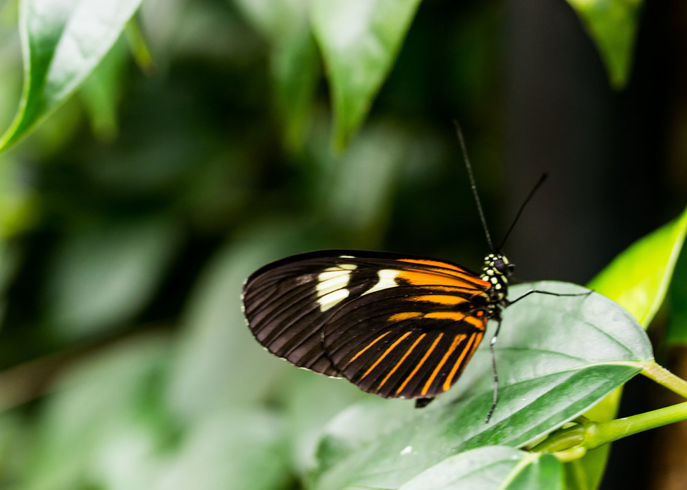 One of the first butterflies that had been released for the annual butterfly and blooms exhibit.