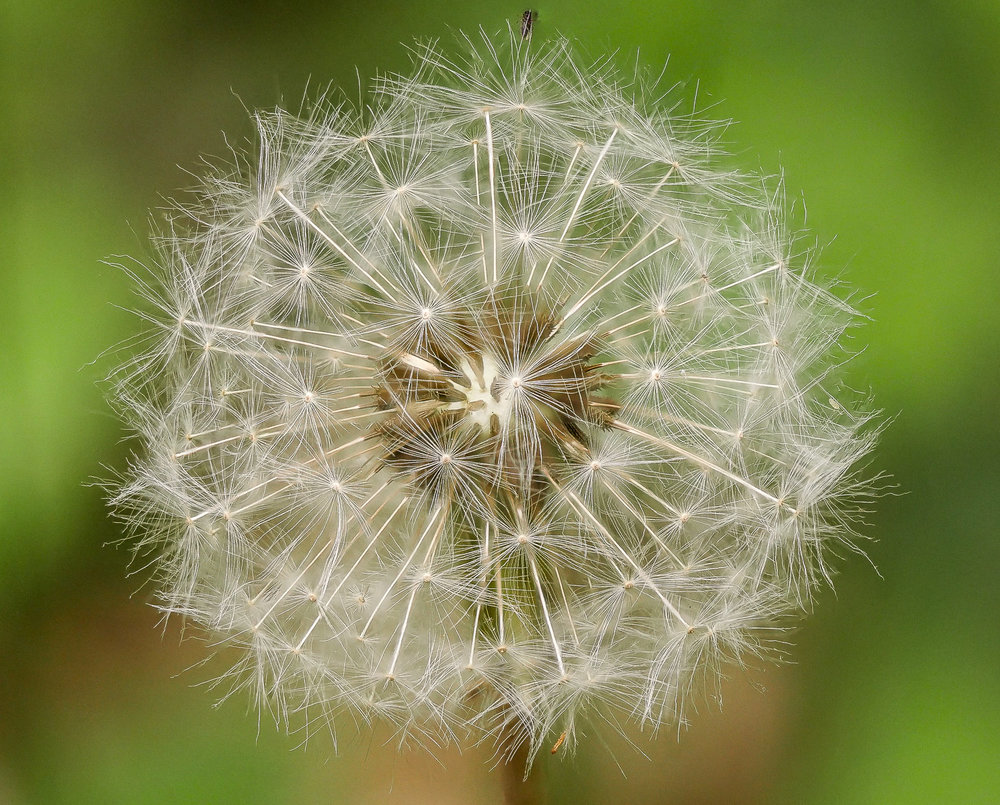 Dandelion with Bug.jpg