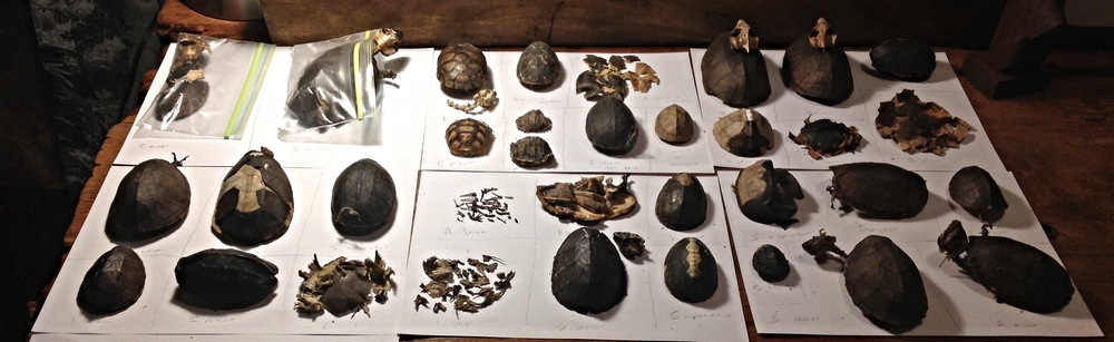 Remains of ten turtle species found under a Red-shouldered Hawk nest in central Florida. Photograph by Timothy J. Walsh.