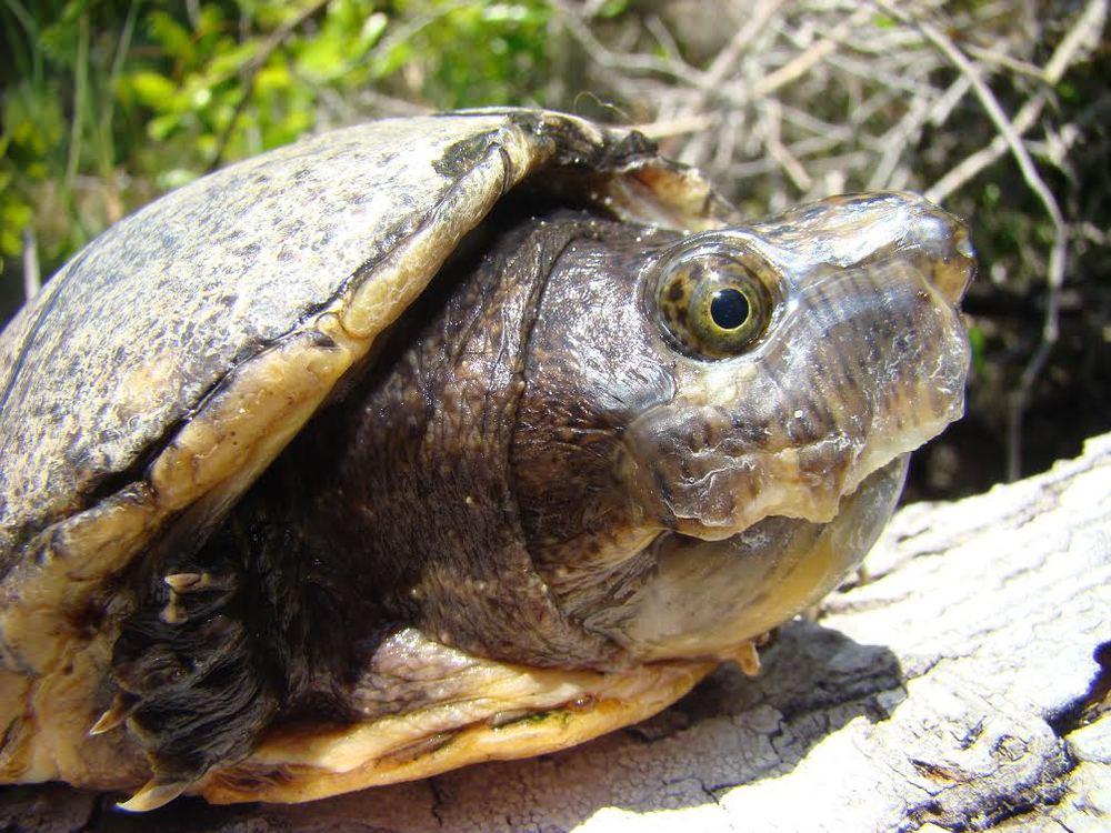 Loggerhead Musk Turtle
