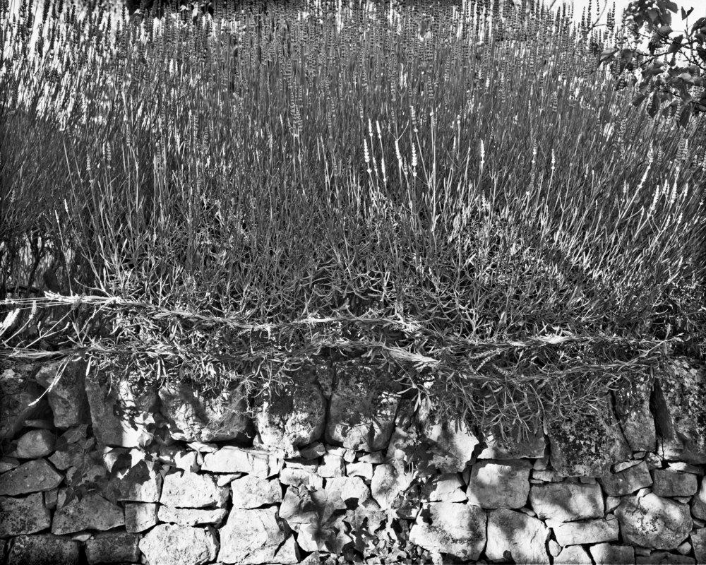 lydiasee-colpodarialydiasee_090814-braidedlavender-2014-4x5_summer013.JPG