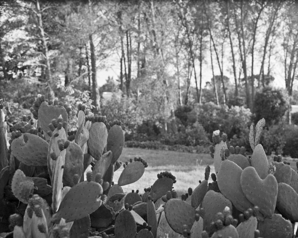 lydiasee-colpodarialydiasee_090814-pricklypear-2014-4x5_summer014.JPG