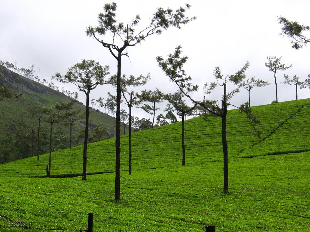 Tea Gardens - Munnar