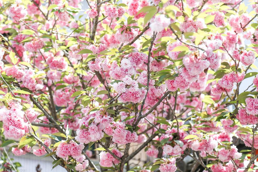 kimleow_cherryblossom_kyoto_travel-6.jpg